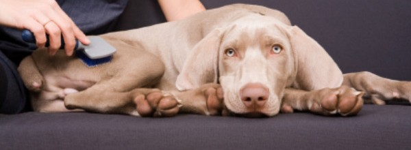 A 3 month old Weimaraner puppy enjoying having his fur brushed.
